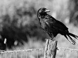 crow-3560516__340